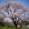 エドヒガンの大木