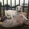 インドで動物が飼いたい騒動