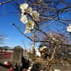 狭山公園にも、梅の花が咲き、