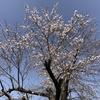 季節の便り:おとなりの桜 [No.2021-S005]