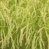 もう稲が黄金色に実ってきた!