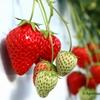 Benoit特選食材「静岡県掛川のイチゴ≪紅ほっぺ≫」のご案内です。