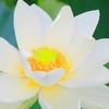 蓮池の風景⑥(鎌倉・鶴岡八幡宮から海蔵寺へ)