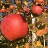 いよいよ終盤戦【りんごの収穫】