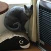 【今日の猫さん】廃墟風カーテンが人気です