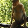 【マレーシアに女子1人旅・14】ラブックベイテングザル保護区へ