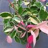 ピンク色の新芽が綺麗なサクララン