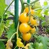 ミニトマトの栽培は2色栽培で食卓の彩りもアップ