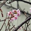 クリスマスに桜の花!?