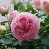 「ピエール・ド・ロンサール」・バラの思い出・3……