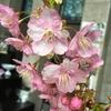 河津桜を頂きました。苗木を買って植えたくなってしまいます(*^_^*)