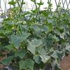 キュウリやニンジン、ダイコン(2)の収穫が始まりました (^o^)