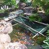 「庭いじりの贅沢」「鯉が鷺に食べられた。」(2)襲来・佇立・大きくなった鯉たち