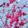 The southern part of Hyogo prefecture is the season for plum blossoms and oysters.