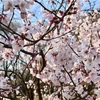 【お花見】代々木公園 開花状況 (2019/3/20) 〜代々木公園もう満開?!
