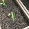 【播種から15日】インゲン豆の栽培