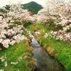 山口市一の坂川の桜。。。 (´∀`)
