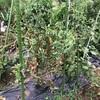 市民菜園で野菜づくりに挑戦!22 〜トマトの後始末