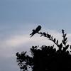 夕暮れの鳥〜鳥のいる神社〜神社の七夕