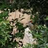 シマアフリカアオゲラ(Golden-tailed Woodpecker)など