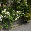 白のツツジが続々開花
