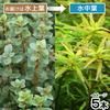 (水草)ロタラsp.アンナミカ(水上葉)(無農薬)(5本)