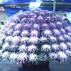 川越喜多院の菊まつり