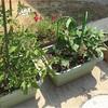 家庭菜園5月中旬