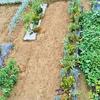 9月の菜園!ニンジンの種まき!