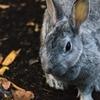 アンゴラウサギは毛をむしられている。
