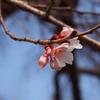 さくら開花予想は4月5日