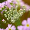 美しい銀色のツボミ:ケショウザクラ