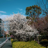 花王石鹸東京工場前の梅