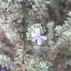 【2年育ててついに開花!】ウエストリンギア(オーストラリアンローズマリー) スモーキーホワイトの成長