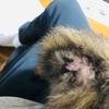 【子猫】ちょこちゃんの発情期の症状