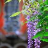 狂い咲き(藤の花)②