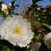 山茶花(サザンカ)白花