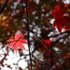 【鎌倉いいね】11月30日現在の鎌倉紅葉の様子は?
