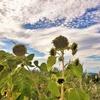 ラボ4畑のヒマワリ収穫と種取り