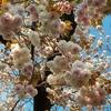 うちの八重桜