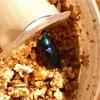 パプキン♀を菌糸ビンに投入し菌床産卵させてみる【パプキンブリード2018産卵セット】