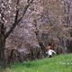 北海道の桜 ~ 東川町 キトウシ森林公園