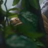 アマゾンツリーボア Corallus hortulanus