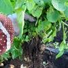 「黒マルチと土寄せ効果」の検証結果(ジャガイモ)