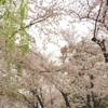 桜を見ずにいられない