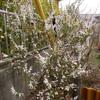 ユキヤナギ ~ 春の訪れを告げる花