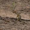 ヤブリス(Tree Squirrel)など