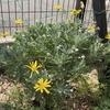 ユリオプスデージー 開花