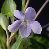 Viola utchinensis