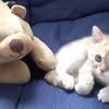 【仲良し】熊のトム君とじゃれ合う子猫が愛くるしい動画がこちらwww